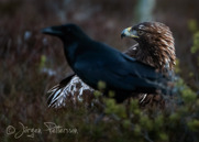 Kungsörn,Golden Eagle,Aquila chrysaetos, X