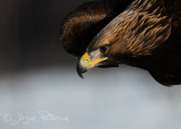 Kungsörn,Golden Eagle,Aquila chrysaetos, XII