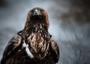 Kungsörn,Golden Eagle,Aquila chrysaetos, XV