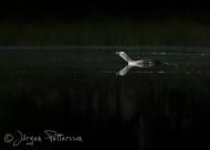 Smålom,Red-throated Diver,Gavia stellata, 3