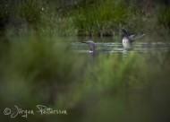 Smålom,Red-throated Diver,Gavia stellata, 7