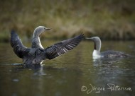 Smålom,Red-throated Diver,Gavia stellata, 12
