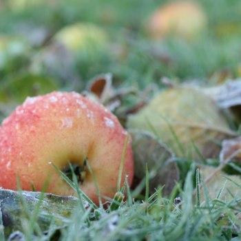 Frostigt äpple