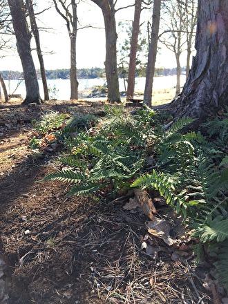 Stensöta, Polypodium vulgare, planterad i woodland