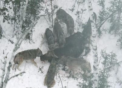 Så här behandlar vargen sina offer!