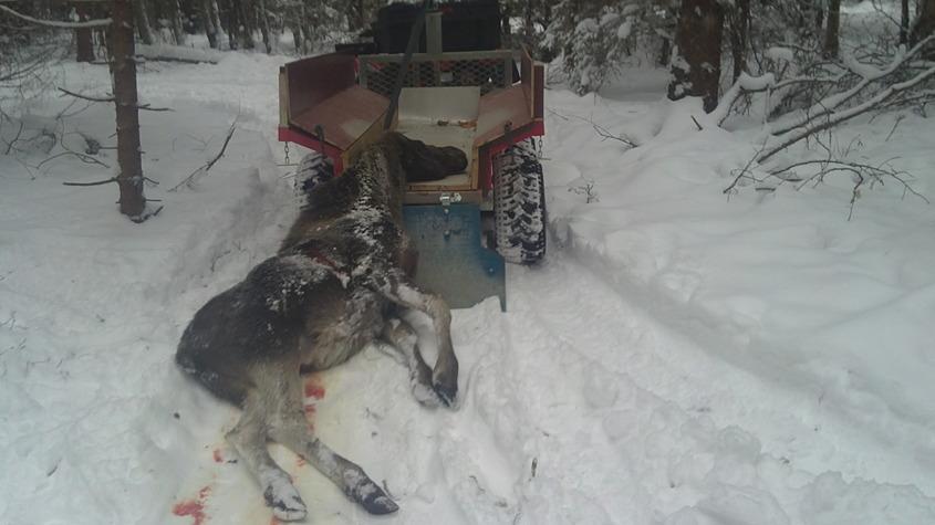 En älko dödades på E18 igår29/1-2014, spårade den ensamma kalven idag. Efter ca 150 m såg jag den ligga bland träden. Den reste sig upp, och jag avlossade ett skott, den rusade 35-40 m och var död när jag kom fram.Rapport Paul.
