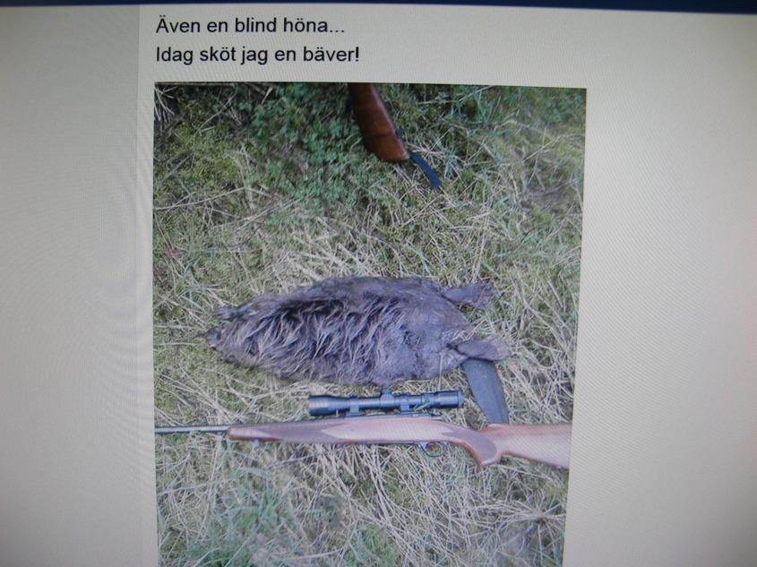 Långfredagens 2014, jakt blev Niklas turdag med denna bäver, Hans fick nöja sig med en mink!