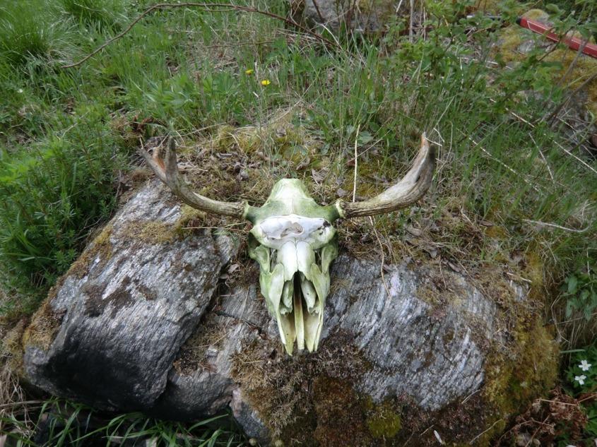 Niklas hittade dessa skallar i sin hästhage, vad har hänt dom? 2012