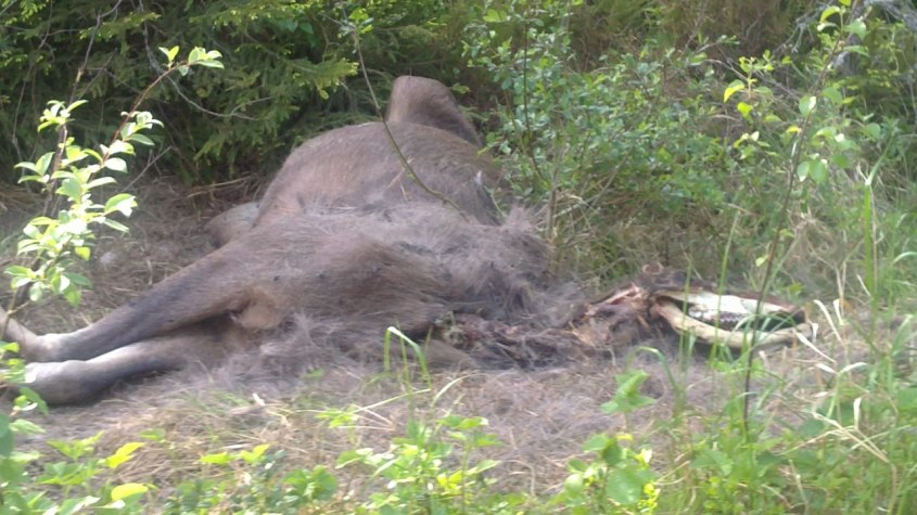"""Död älg vid """"Falla"""" 2/6-2011 Hade kämpat länge, troligen bruten rygg."""