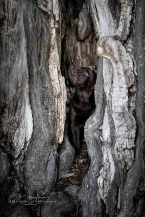 The perfect hideout for a brown Labrador puppy! Mementos Vivaldi - Melker