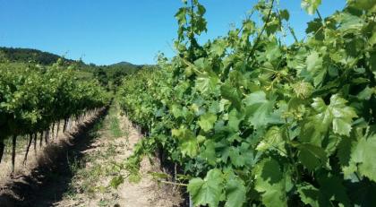 Missa inte vinprovning hos Fakin Wines i Motovun-dalen