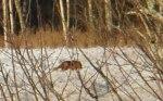 Det var Mickel Räv som lämnat sina fotspår i snön! Klicka på bilden för att se den i större format.