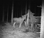 Först kom kon med sina två kalvar och strax efteråt kom tjuren för att smaka lite salt. Klicka på bilden för att se den i större format.
