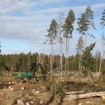 Björn fäller träden med sin skördare! Stora krafter som arbetar. Klicka på bilden för att se den i större format!