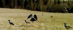 kråkor o skator