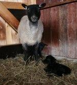 """Tackan """"74"""" med sina nyfödda lamm! Klicka på bilden för att se den i större format!"""