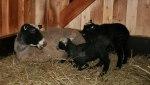 Tackan Po´Lisen pratar med sina lamm! Klicka på bilden för att se den i större format!