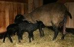 Alldeles nyfödda lamm, dessa föddes den 22 april kl 16.30! Klicka på bilden för att se den i större format!