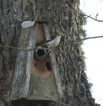 Herr Svartvit Flugsnappare bevakar sin holk. Klicka på bilden för att se den i större format!