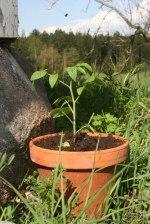En omhuldad tomatplanta som vi hoppas få skörda om ett par månader! Klicka på bilden för att se den i större format.