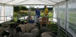 Margareta och Lasse kollar in fårflocken innan mönstringen börjar. Klicka på bilden för att se den i större format!