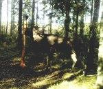 Hur många taggar har älgtjurens krona har? Klicka på bilden för att se den i större format!