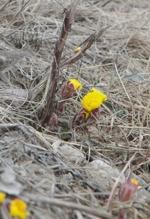 Vårens första tussilago! Klicka på bilden för att se den i större format!