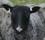 fårets blick