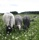 betande får o lamm