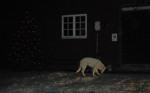 Tika, vår egen snövita herdehund nosar förtjust på årets första snö!