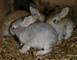 små kaniner