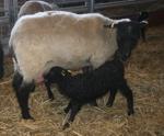 När man busat färdigt med de andra lammen är det gott att få lite mjölk från mamma tacka!!