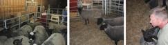 Bilder från årets Gårdsmönstring! Lammen står på kö för att bedömas och vill även bli kelade med!