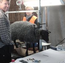 Stjärnbäck Loke är redo, fårhusse ger lite trygghet innan domarna börjar sin bedömning.