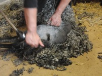 Lammet sätts mellan benen på klipparen som sedan varsamt klipper ullen.