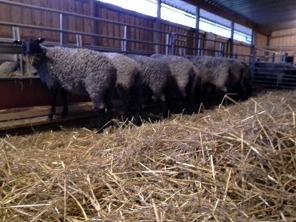 Fina fårflickor på rad vid foderbordet! De ska scannas i början av februari och sedan vet vi hur många lamm det bör bli i april!