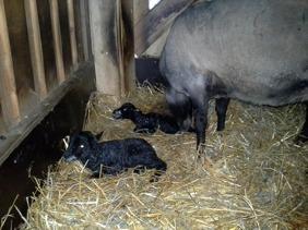 Tacka 11070 med sina nyfödda lamm. Hon har tidigare lämnat bra lamm, fjolårets bagglamm Loke, blev högt bedömd vid Riksbedömningen och finns kvar som avelsbagge i vår besästtning.