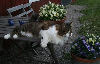 Det är bråda dagar i Maj månad, mycket ska hinnas.... men somliga här på gården stressar inte i första taget! Katten Tyson - en äkta livsnjutare!