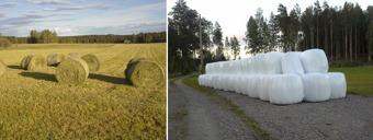 Grovfoder på väg att bärgas, uppställt och redo inför vintern.