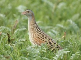 """Corncrake (Crex crex)"" av Richard Wesley - http://www.flickr.com/photos/balvicar/5480680608/. Licensierad under CC BY-SA 2.0 via Wikimedia Commons - https://commons.wikimedia.org/wiki/File:Corncrake_"