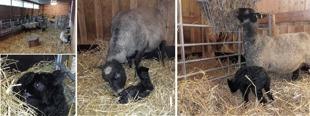 När lamm och tackor mår bra så trivs gårdsfolket!