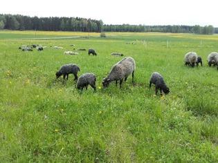 Gräs är gott! Gotlandsfåren på Stjärnbäck njuter av tillvaron.