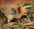nyfiken kyckling