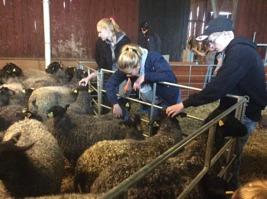 Bekantar sig med fåren innan vägning.