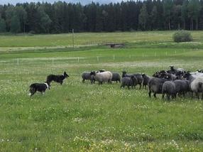 Här har fåren och hundarna en liten pratstund!...