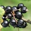 Svart vinbär & Vanilj är en av dofterna hos SHAKE luftfräschare