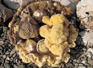 Havssvampar för ömtålig hudvård t.ex. i duschen