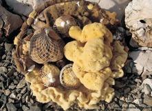 Naturliga svampar från Adriatiska havet