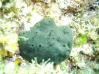 Växande Sponga officinalis i Adriatiska havet