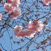 Några utslagsa blommor på körbärsträd